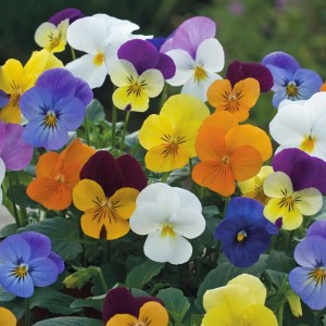 more pansies